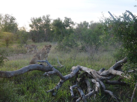 Grass with a tree branch on the floor and a lion cub standing looking slightly to the left of the pic and another one which I've only noticed now 5 months after the pic was taken lol, there are trees in the background and cloudy sky