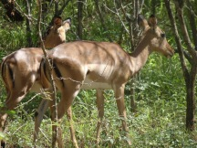 A close up pic of 2 impala hiding in the bushes, they are dark brown on top and light brown towards the belly before going white underneath. They have the softest face and eyes