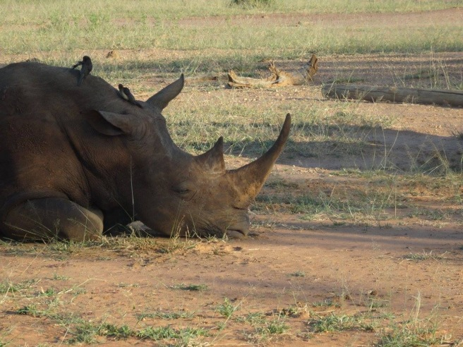 A rhino face lying down in some dirt gdtting a clean up by some birds